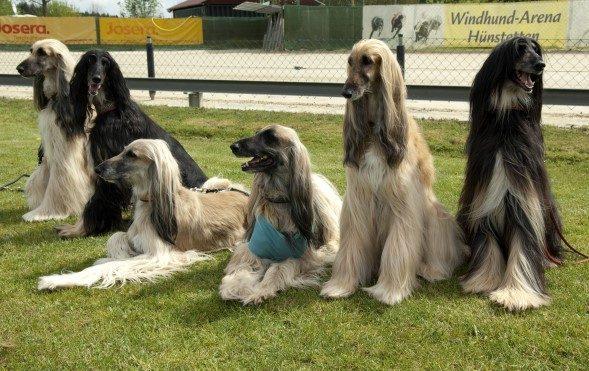 Önce İngiltere'ye daha sonra Amerika'ya götürülen köpekler bu iki kıtaya…