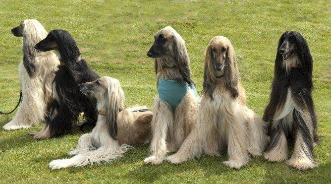 Bu av köpekleri, görerek iz sürme özelliğine de sahip.