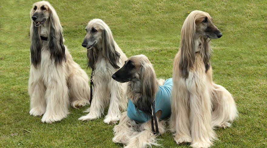 Dünyanın en pahalı köpeklerinden olan Afgan tazısı süs köpeği görüntüsüne…