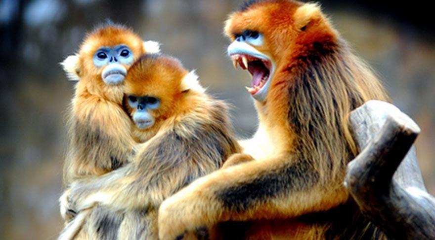 çinin ünlü Işadamı Bir Maymun Tarafından öldürüldü Dünya Haberleri