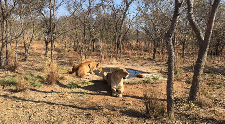 Peru ve Kolombiya´da sirklerden kurtarılan 33 aslan anavatanları Afrika´ya geri döndüler.