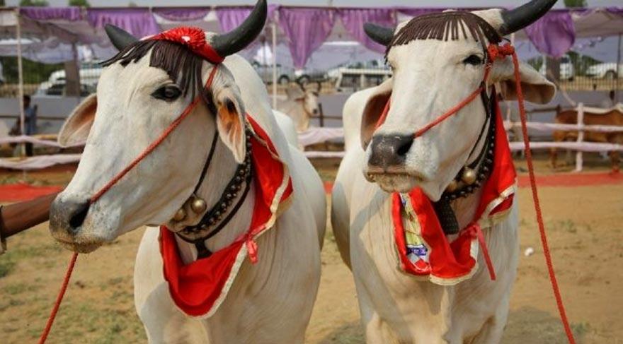 Hindistan'da sığırlar için güzellik yarışması yapıldı