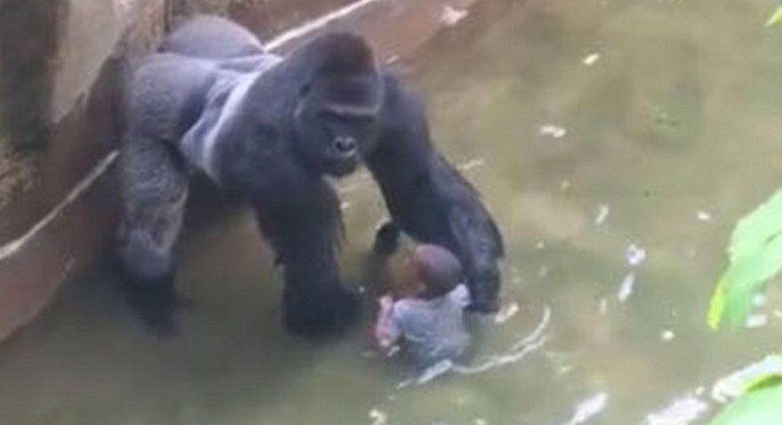 Öldürülen goril meğer çocuğu korumaya çalışmış