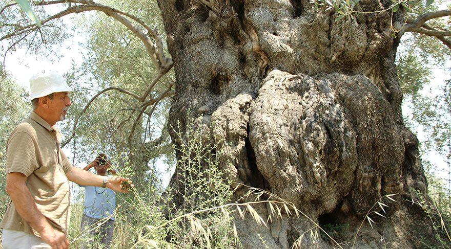 Kuşadası'nda yüzlerce yıllık ağaçlar tespit edildi
