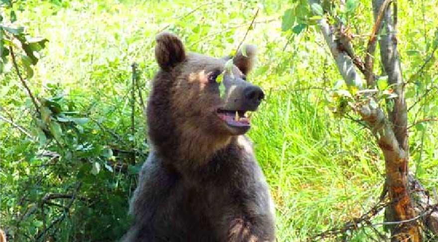 Tel örgülere takılan ayı kurtarıldı
