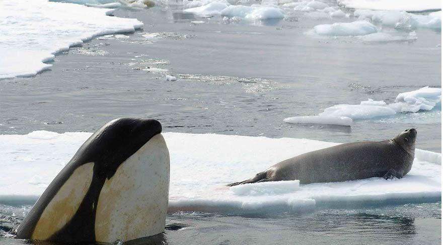 Katil balinalar kültür kaynaklı genetik evrim geçiren ilk insan olmayan canlı türü