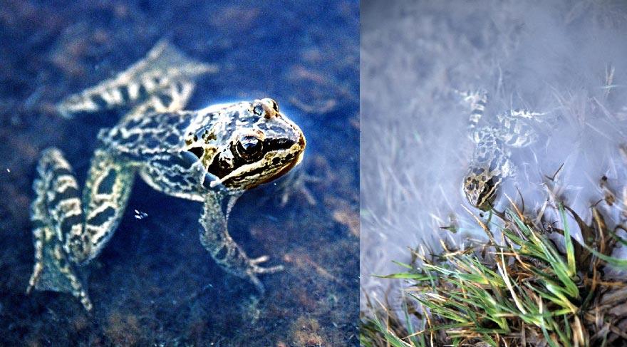 kurbağa2