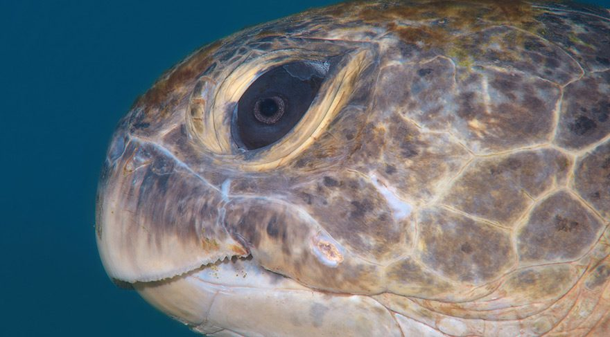 kaplumbaga-ic