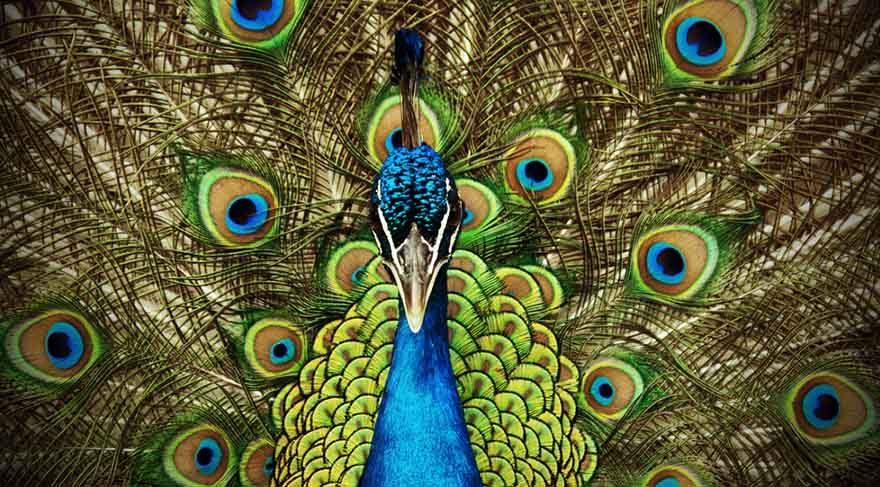 Tavus kuşları beğendiği diğer tavus kuşunu tavlamak için, kuyruğunu açar ve kuyruğundaki renklerin tüm ihtişamını ortaya koyar. İşte Venüs Aslan burcunda iken bizlerde adeta bir tavus kuşu gibi elimizdeki tüm olanakları ve tüm yetenekleri bir şova dönüştürerek beğendiğimiz kişileri tavlamaya çalışacağız demektir.