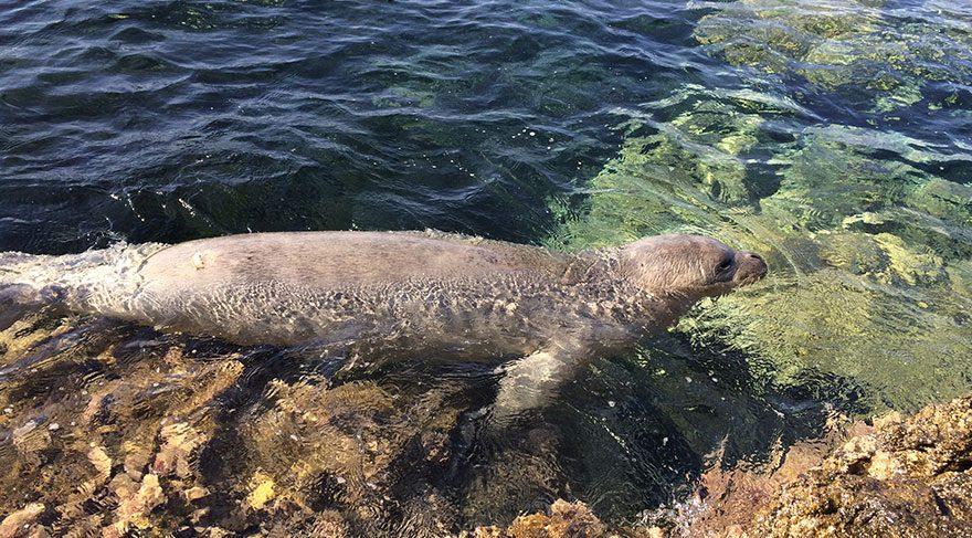 İzmir'deki plaja Akdeniz foku ziyareti