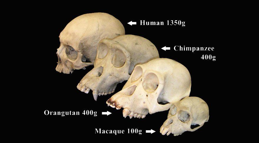 Evrimde yeni araştırma: Primat beyinleri nasıl bu kadar büyüdü?
