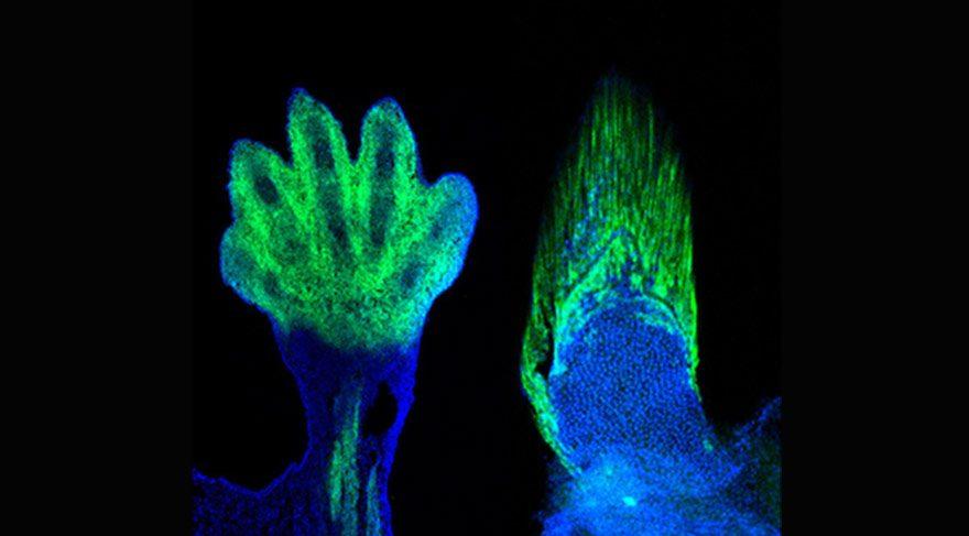 Parmaklarımız balık yüzgeçlerinden mi evrildi?