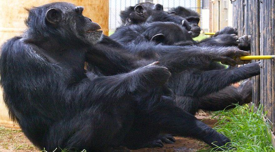 Şempanzelerin taş-kağıt-makas oyununu öğrenebildikleri gözlemlendi