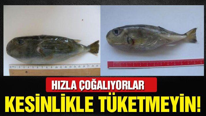 İzmir'de balon balığı tehlikesi