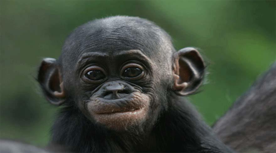 Bonobo maymunları ateşi buldu!
