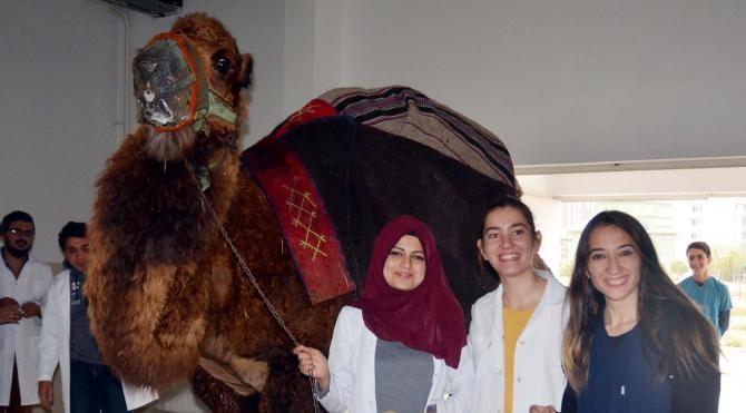 Şampiyon develere AKÜ'de checkup