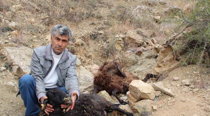 Aç sokak köpekleri 7 koyunu yedi