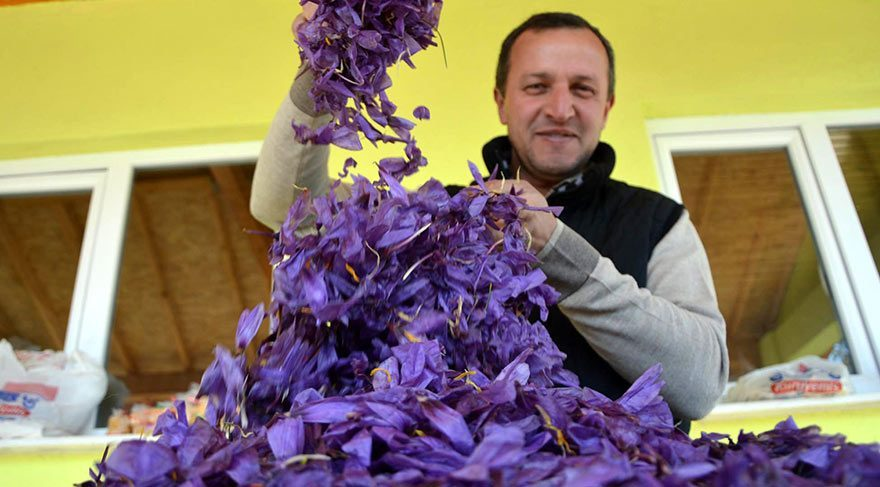 Dünyanın en pahalı bitkisi: Safran'ın hasadı başladı