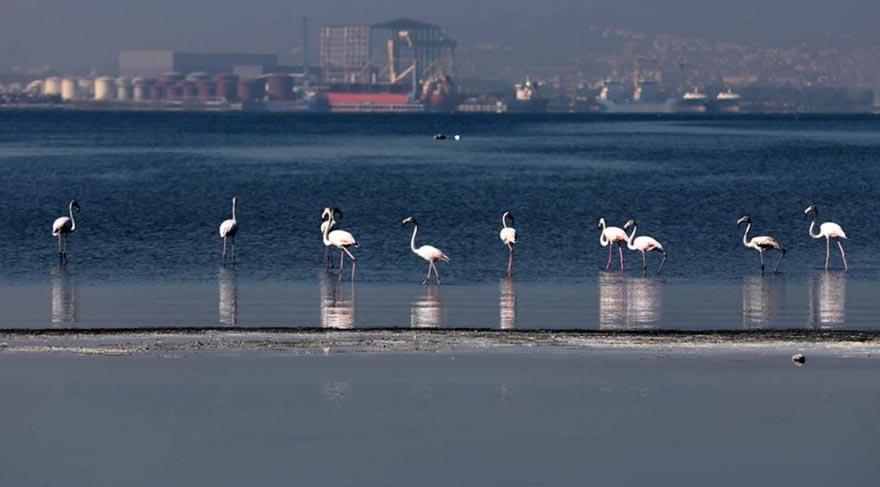 Körfez flamingolarla renkleniyor