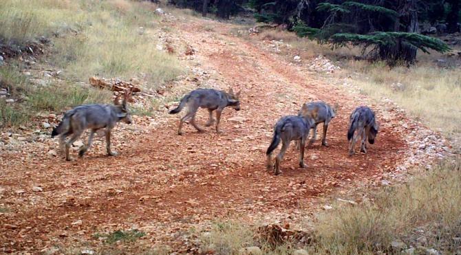Batı Toroslar'da 2 yılda 8 kurt yavrusu dünyaya geldi