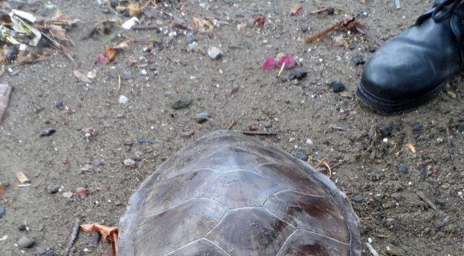 Sahile kafası kopmuş caretta caretta vurdu