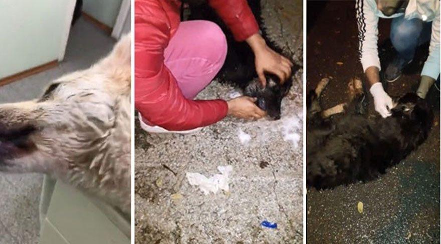 Sapanca'da can çekişen köpeklerin görüntüleri olay oldu!