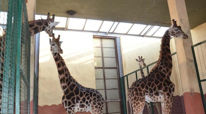 Darıca'nın 2 zürafası daha oldu