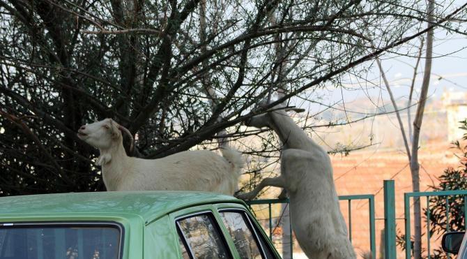Keçilerin yaptığına bak