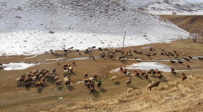 12 derecede koyun otlatma mücadelesi
