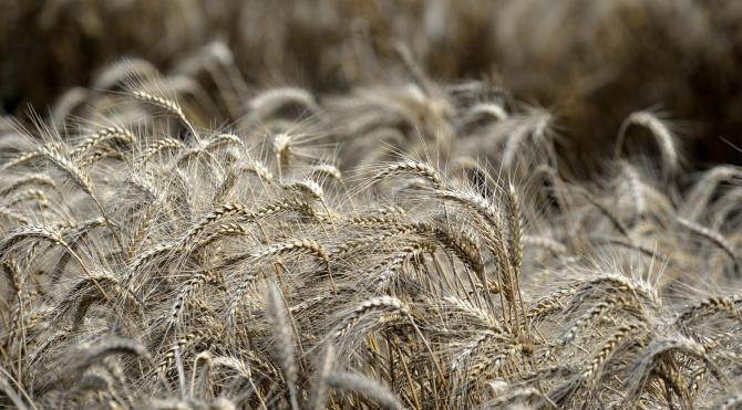 Buğday üretimi dünyada arttı, Türkiye'de azaldı