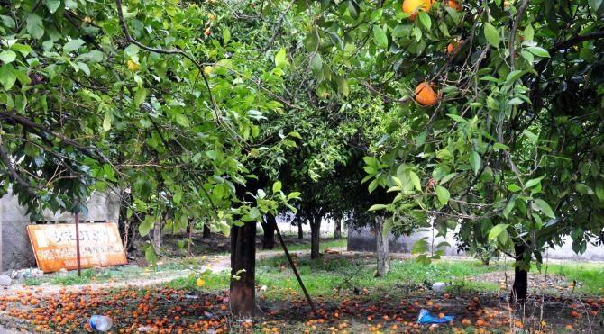 Yağmurda dökülen portakal bahçede kaldı