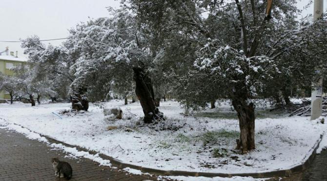 Edremit'te kar yağışı zeytin ağacına yaradı