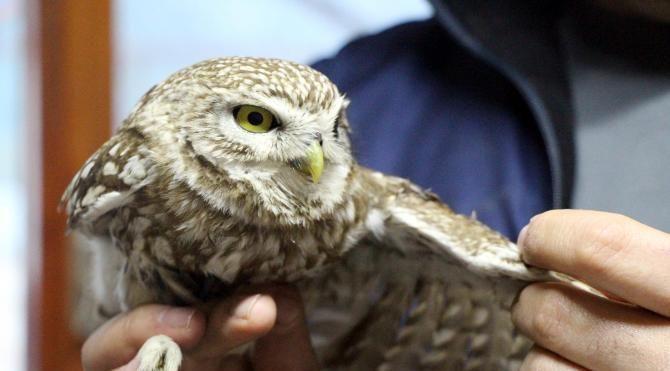 Yaralı şahin ve yavru baykuş tedaviye alındı