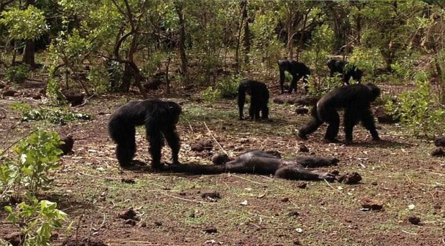 Şempanzelerin eski zorba liderlerine nasıl davrandıklarını gösteren şok edici video