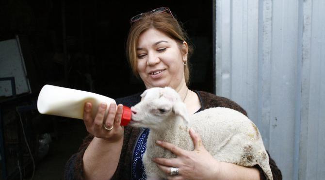 Koyun yetiştiriciliğinde İspanya modeli