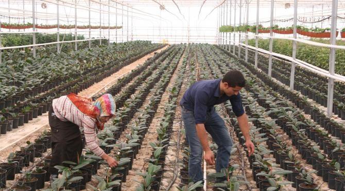 Seralarda sebzelere ek olarak süs bitkileri yetiştiriliyor