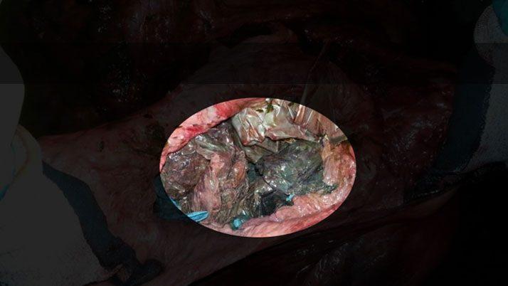 Balinanın midesinden çıkan plastik poşetler.