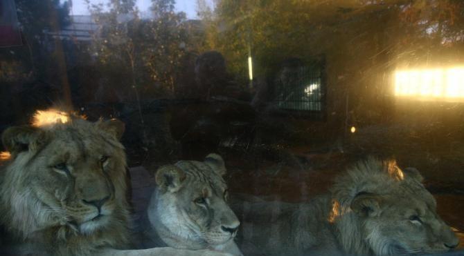 Üçüz aslanların yeni evi Antalya