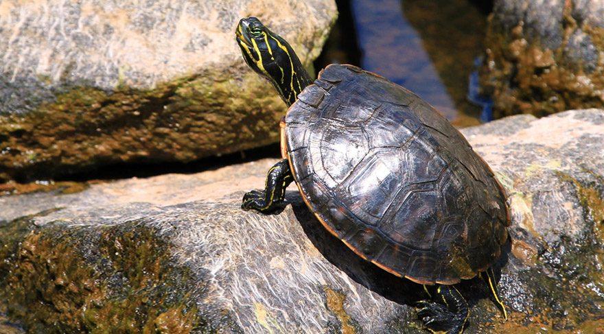 Su kaplumbağaları ormanlık alanda ölüme terk edildi!