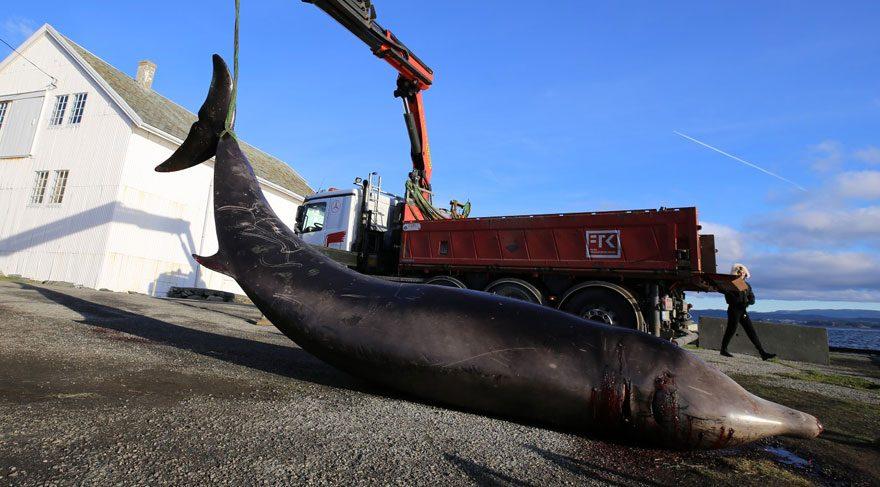 Karaya vuran balinanın midesinden 30 plastik poşet çıktı
