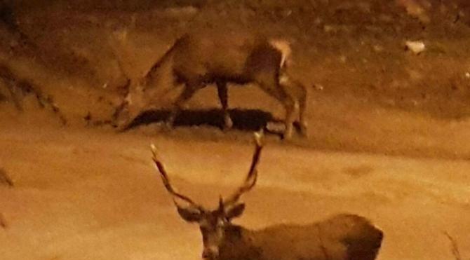 Aç kalan geyikler şehire indi