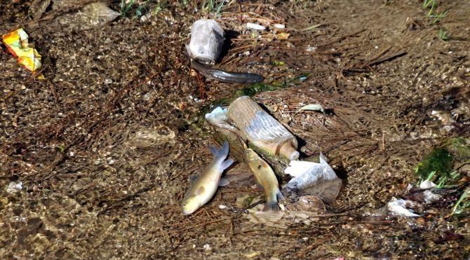 Tokat'taki derede balık ölümleri