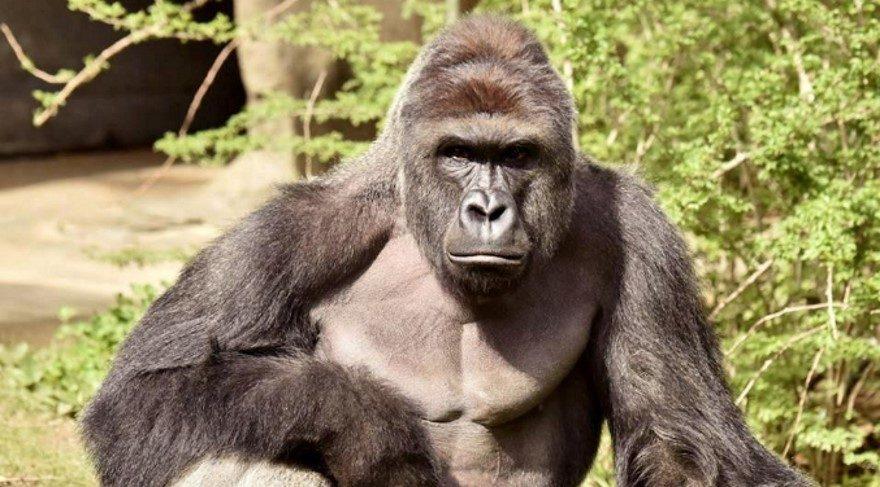 Yeni DNA araştırması: Goril Y kromozomları, şempanzeden çok insan erkeğinin Y kromozomuna daha çok benzer