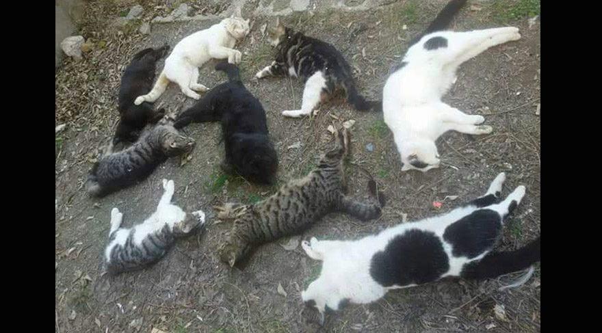 Hayvanseverler isyanda: Alanya'da kediler öldürülüyor