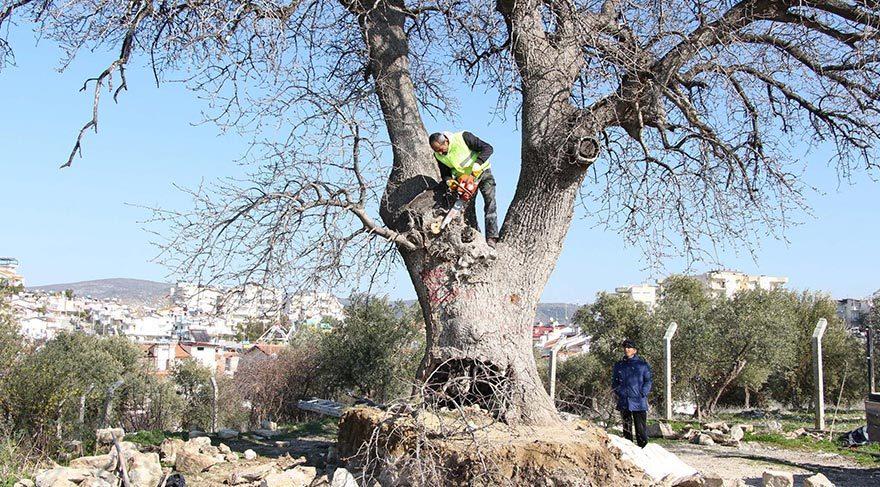 Kuşadası'ndaki anıtsal ağaçlara restorasyon