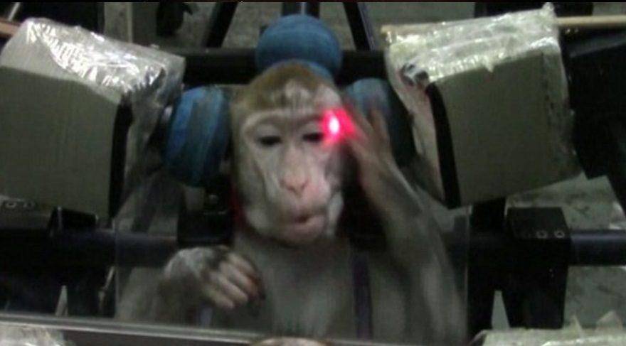 Maymunlar 'benlik farkındalığı' göstergesi olan 'aynada kendini tanıma' testinden geçti