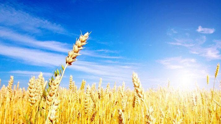 Türkiye Rus buğdayını yasakladı