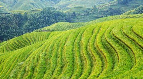 Çin'de 8 bin yıldır pirinç üretiliyor