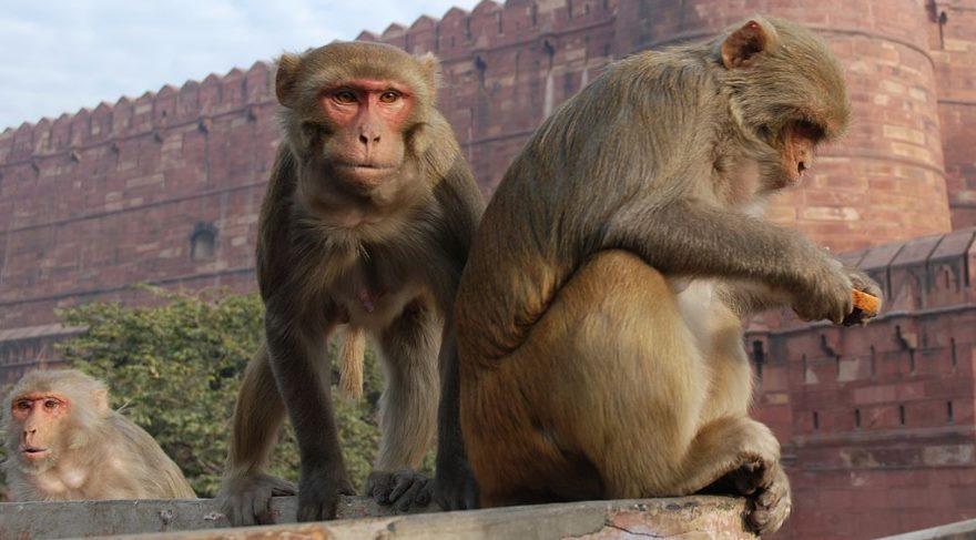 RH kan grubunun adı neden Rhesus maymunundan geliyor?