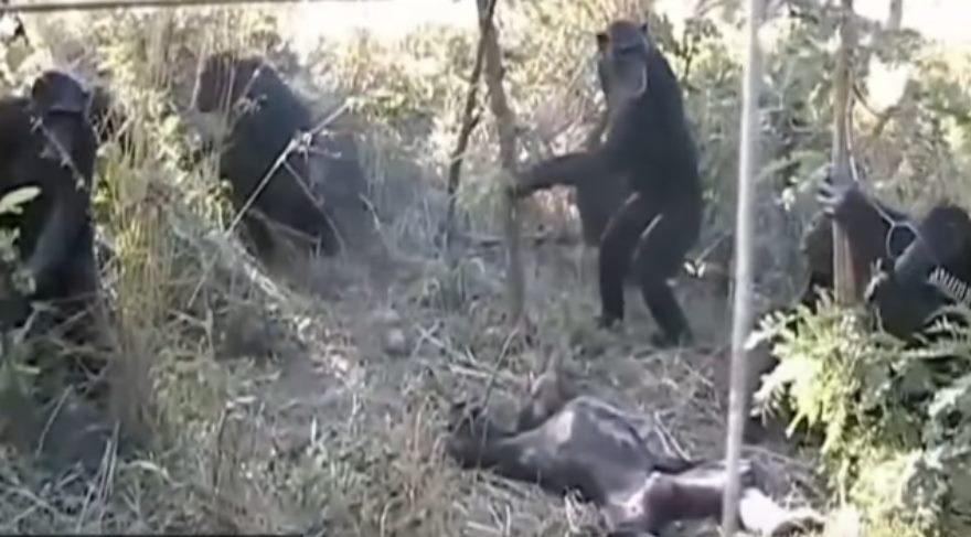 Ölüm ritüeli düzenleyen şempanzeler cenaze töreninin evrimsel kökenini aydınlatabilir